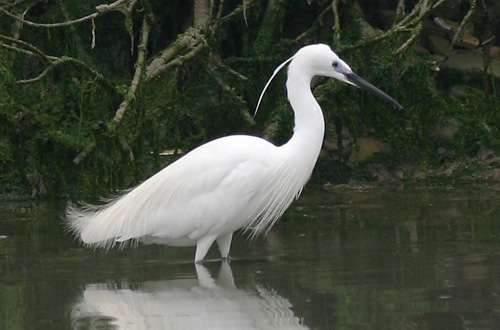 indian animals of bird  little egret collection
