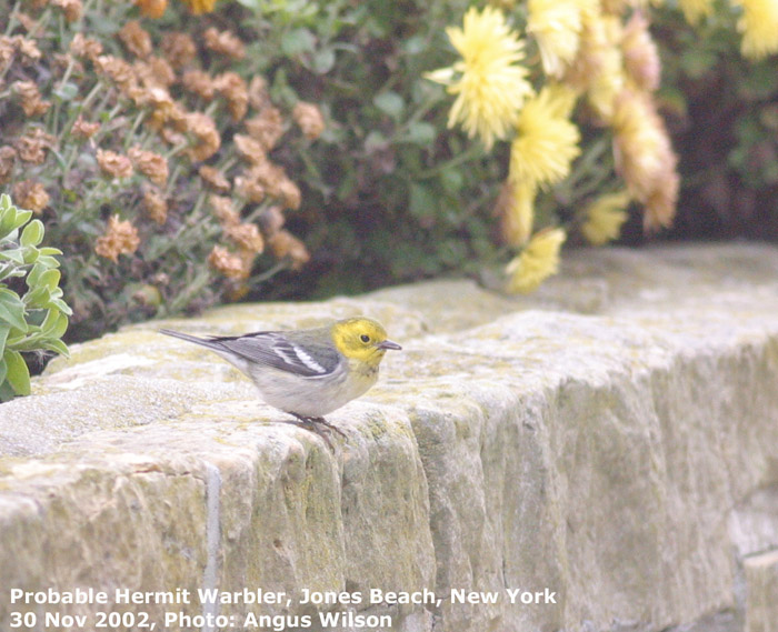 Fig1 Hermit Warbler perches momentarily on stone wall.