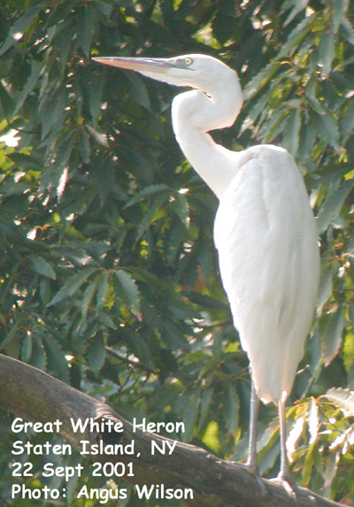 Great White Heron In New York