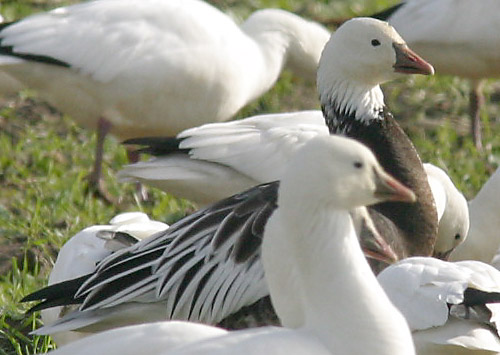 Is This A Lesser Snow Goose Or X Rosss Hybrid